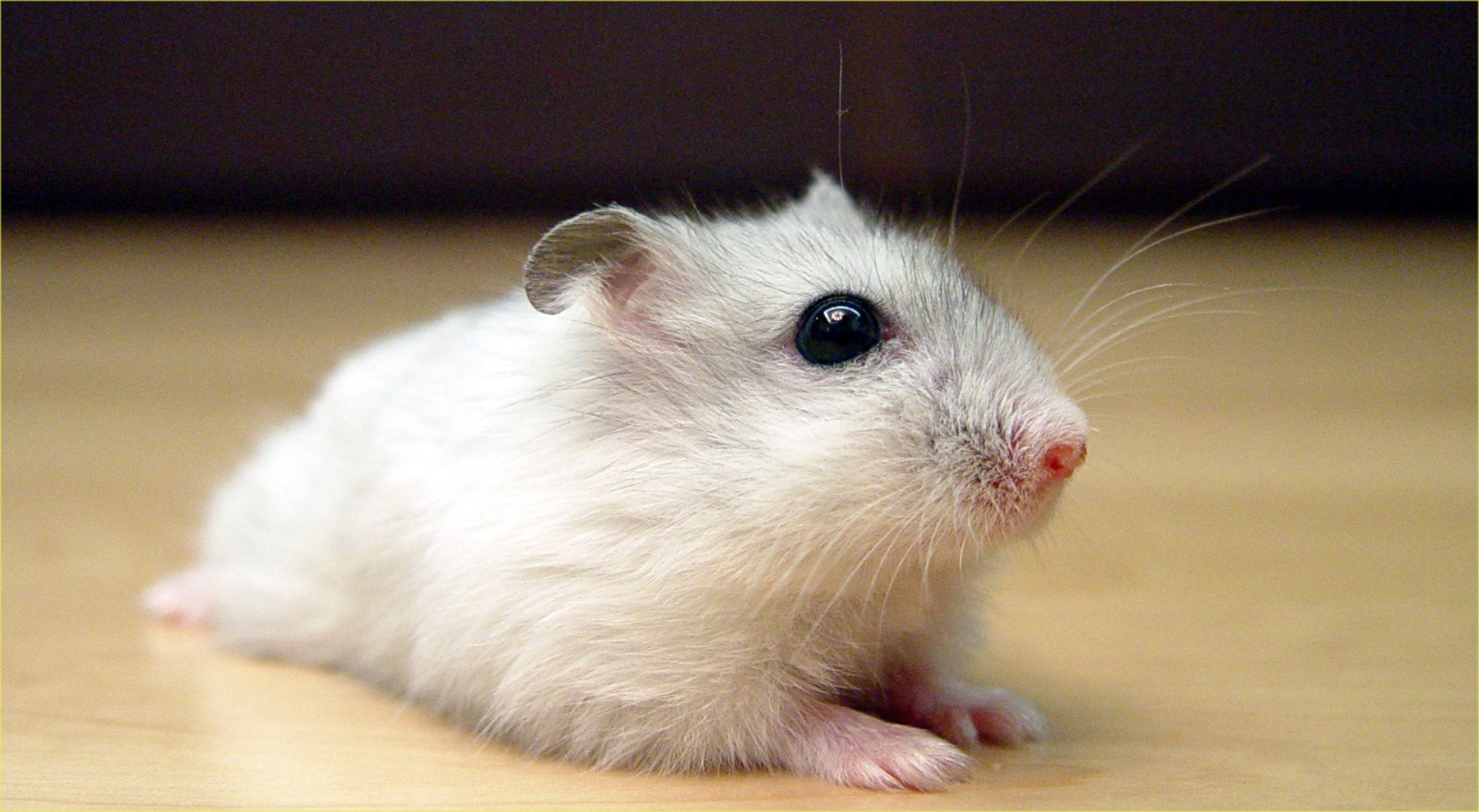 Spud the White Russian Dwarf Hamster