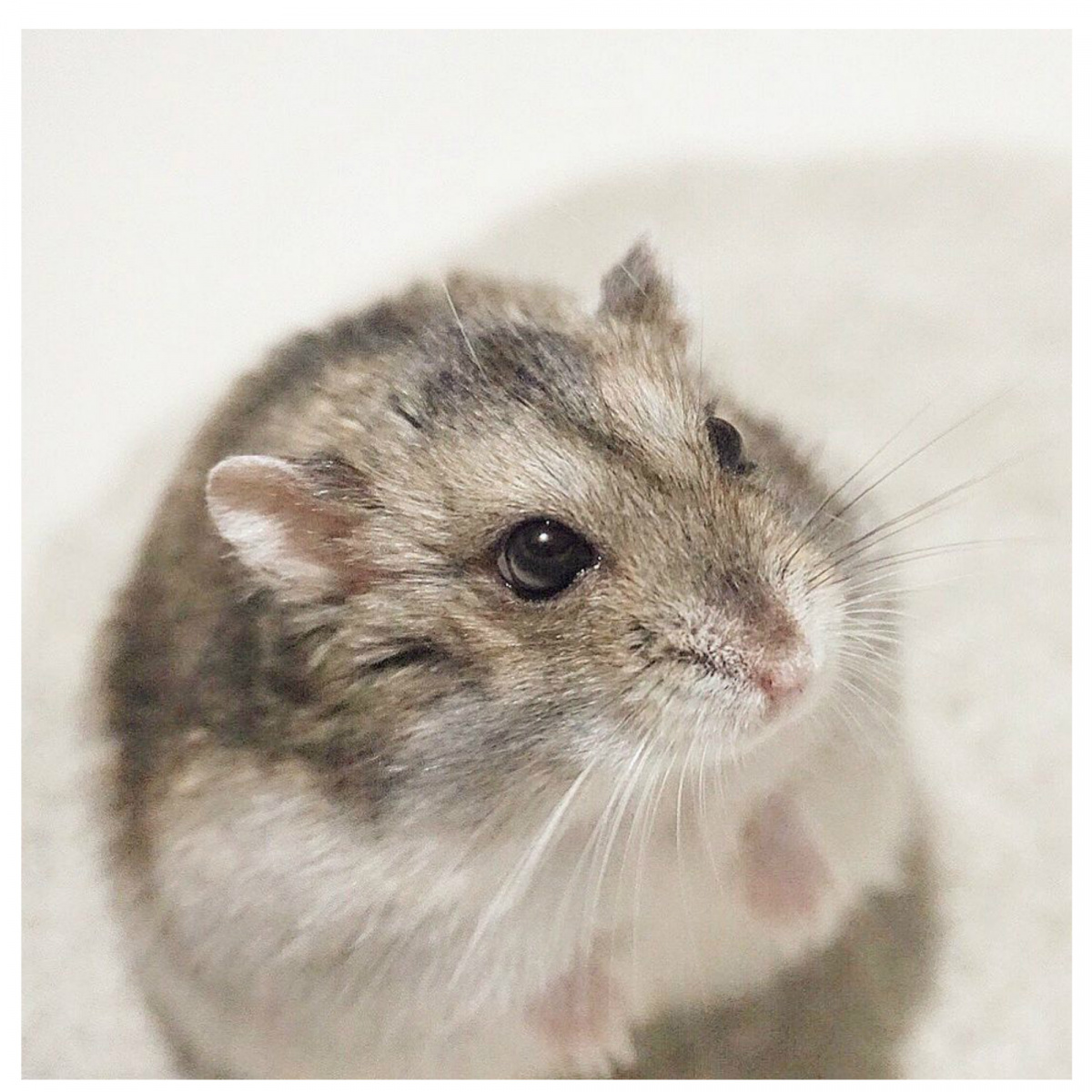 Cheese the Fat Hamster