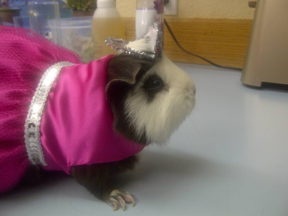 Rosie the Riveting Guinea Pig