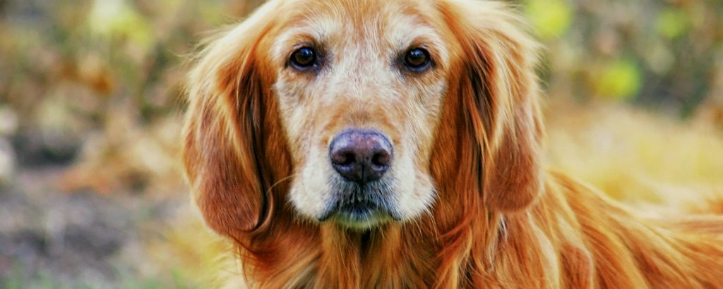 Grooming Tips for Senior Dogs