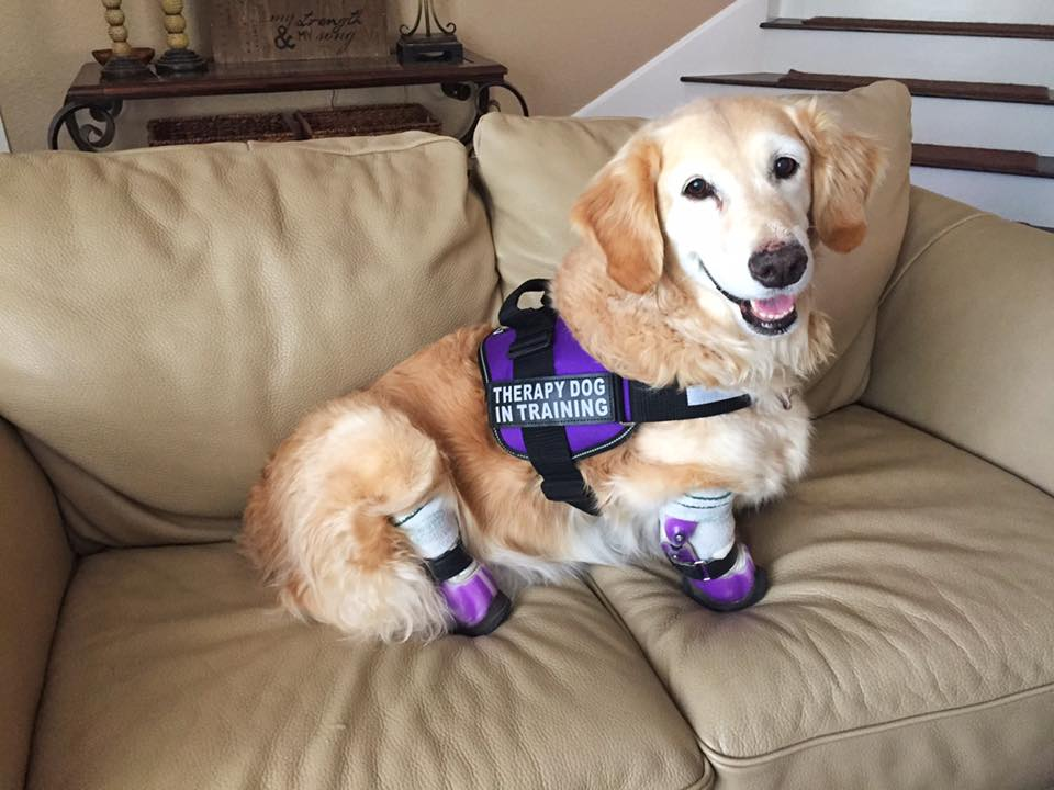Chi Chi quadruple amputee becomes a therapy dog