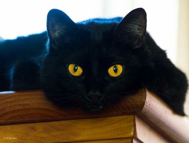 Mystique of the Bombay-The Ultimate Black Cat