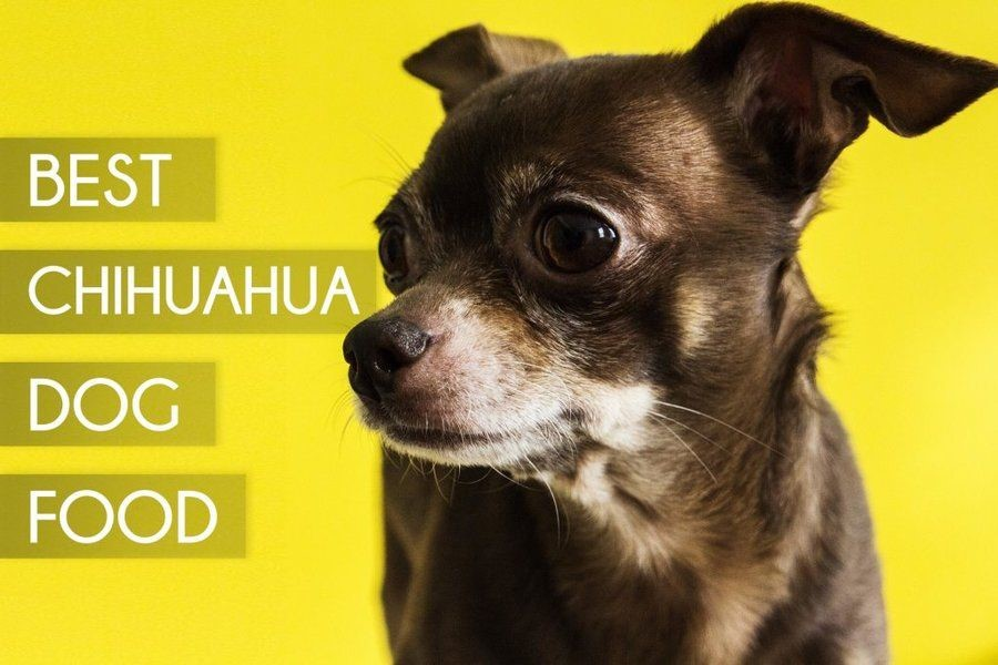 Best dogs foods for Chihuahua Dogs